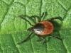 tick-leaf